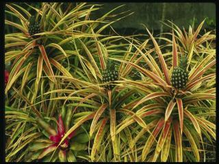 обои Кусты ананасов с зелеными плодами фото