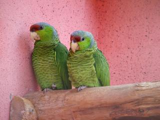 обои Зелёные попугаи фото