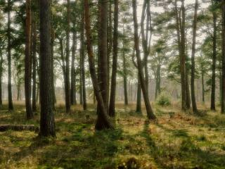 обои Зелёный лес фото