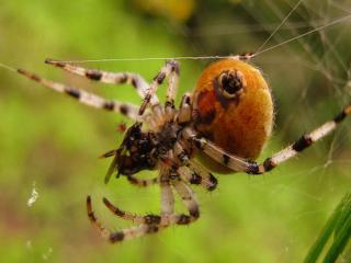 обои Большой паук и паутина фото