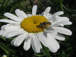 обои Пчела на ромашке фото