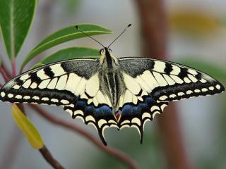 обои Красавица бабочкка фото