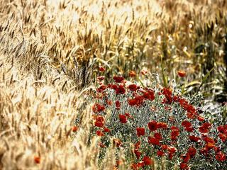 обои Цветы на поле пшеницы фото