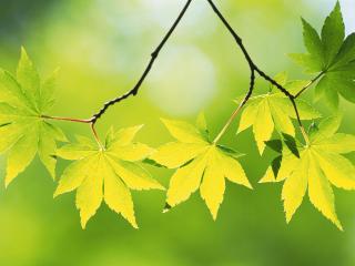 обои Зеленые кленовые листья фото