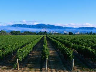 обои Огромная плантация виноградника фото