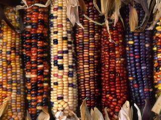 обои Разноцветная кукуруза фото