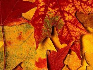 обои Листья клёна фото