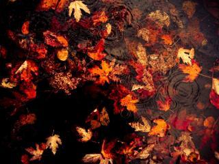 обои Осенние листья в воде фото