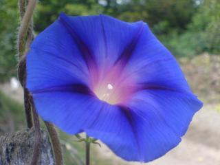 обои Цветок ипомеи фото
