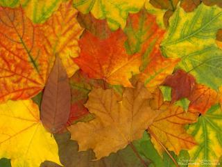 обои Кленовые листы фото