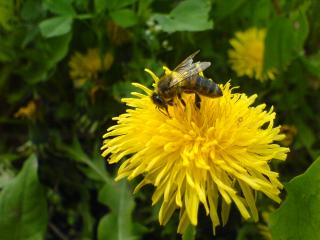 обои Пчела на одуванчике фото