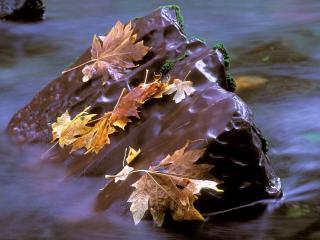 обои Осенние листья на камне фото