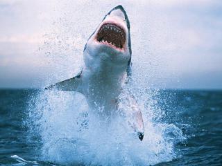 обои Белая акула и пасть фото