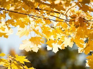 обои Золотые листья клена фото