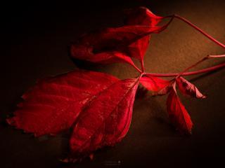 обои Красный листок фото