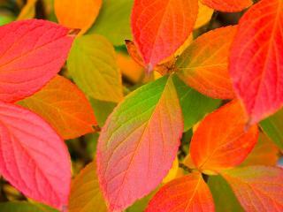 обои Красные и зеленые листья фото