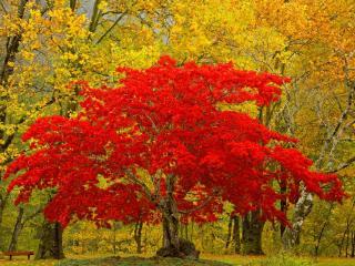 обои для рабочего стола: Осень в сквере, скамейка и ярко багровое дерево