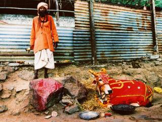 обои Индус и его священная корова фото
