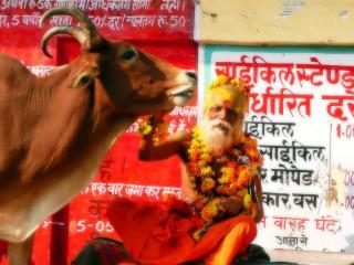 обои Индус и рыжая корова фото