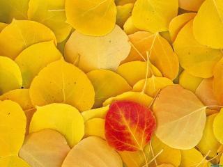 обои Красный листок на желтых фото