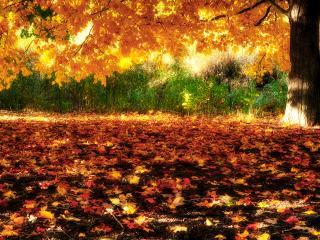 обои Осень,   листва  клёна фото