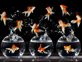 обои Золотые рыбки фото