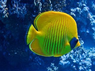 обои Жёлтая с синим пятнышком рыбка фото
