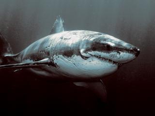 обои Большая белая акула фото