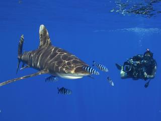 обои Акула и подводный оператор фото