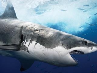 обои Акула атакует фото