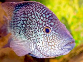 обои Пятнистая рыба фото