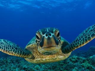 обои Черепаха вид спереди фото