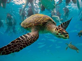 обои Черепаха среди водолазов фото