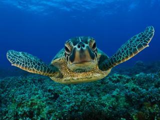 обои Черепаха в воде фото
