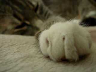 обои Лапка спящей кошечки фото