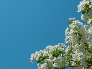 обои Яблоня в цвету на фоне чистого неба фото