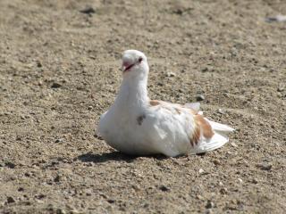 обои Белый голубь сидит на песке фото