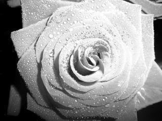обои Черно-белая роза с капельками росы фото