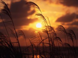 обои Высокая трава и золотой диск солнца фото