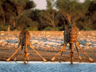 обои Thirsty Giraffes, Etosha National Park, Namibia фото