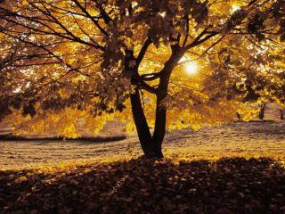 обои Золотое солнце - золотые листья фото