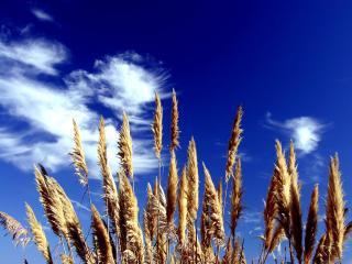 обои Колосья травы на фоне неба фото