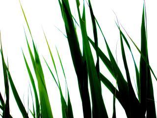 обои Трава на белом фоне фото