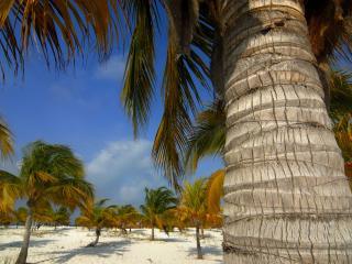 обои Огромная кокосовая пальма фото
