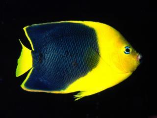 обои Экзотичная желтая рыбка фото