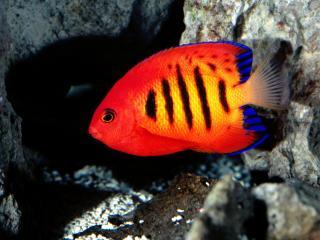 обои Красная рыбешка средь камней фото