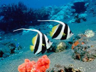 обои Парочка полосатых рыбок фото