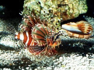 обои Красивая рыбка с гребнем фото