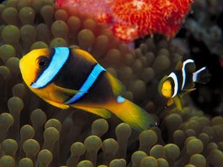 обои Две желто-черно-голубые рыбки фото