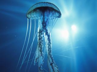 обои Плывущая медуза фото